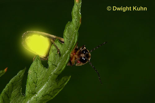1C24-779p   Pyralis Firefly, Lightning Bug Male,  Photinus spp.