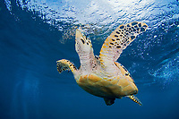 Hawksbill turtle, Eretmochelys imbricata, Bonaire, the Netherlands Antilles, Caribbean.