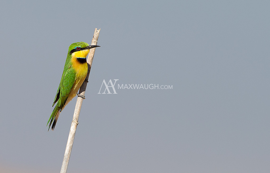 A Little bee-eater pauses during its hunting forays at MalaMala.