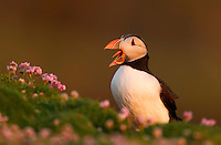 Atlantic Puffin Fratercula arctica yawning, Fair Isle, Shetland Isles, UK