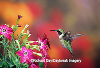 01162-081.14 Ruby-throated Hummingbird (Archilochus colubris) male at Hummingbird Rose Pink Nicotiana (Nicotiana alata)  IL