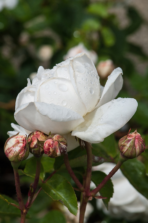 Rosa Glamis Castle ('Auslevel'), early June. A modern shrub rose bred by David Austin from 'Graham Thomas' and 'Mary Rose', 1992. Pure white flowers with an initial tinge of cream.