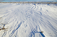 Grizzly bear tracks in the snow on the coastal plains of Alaska's arctic