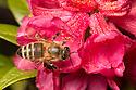 Honey Bee {Apis mellifera} worker feeding on Alpenrose {Rhododendron ferrugineum}. Nordtirol, Austrian Alps. July.