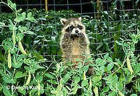 MA21-038x  Raccoon - young animal exploring in garden near pea plants - Procyon lotor