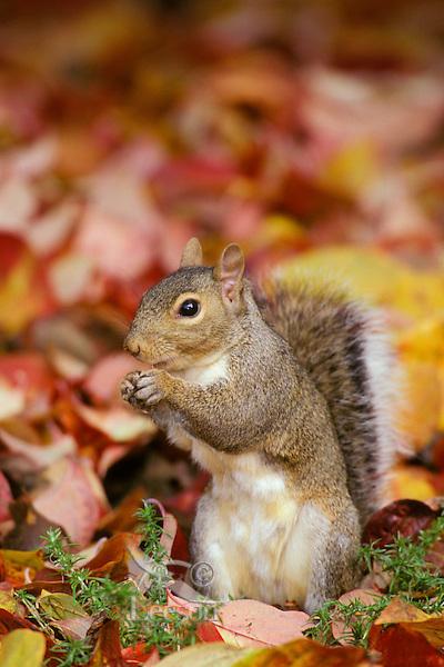 Mi596  Eastern Gray Squirrel in fall leaves.