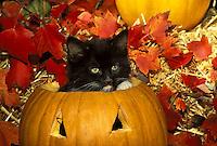 Kitten sits in jack o lantern in fall display at Halloween