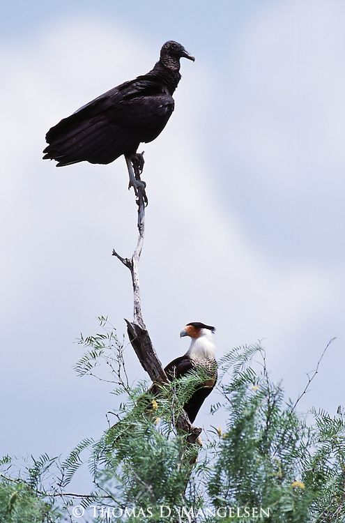 Black vulture and Crested Caracara perched in top of a tree.