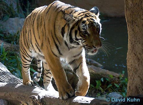 0328-1008  Malayan Tiger, Panthera tigris malayensis  © David Kuhn/Dwight Kuhn Photography.
