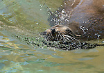 Sea Lion swims on hot summer day at Denver Zoo