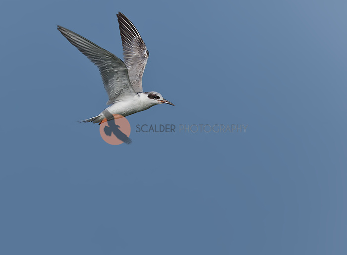 First Year Forster's Tern in flight with wings aloft