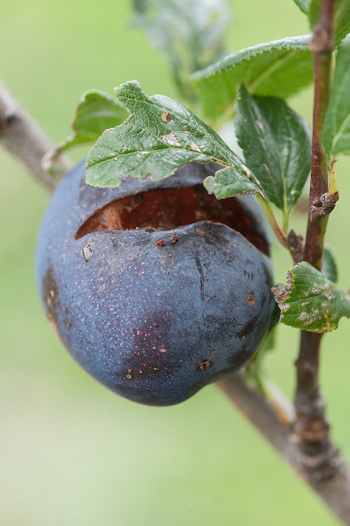 A plum with split skin, early September.