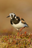 Adult male Ruddy Turnstone (Arenaria interpres) in breeding plumage. Yukon Delta National Wildlife Refuge. Alaska. June.
