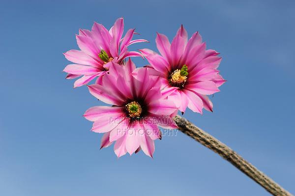 Dahlia hedgehog cactus (Echinocereus poselgeri), plant blooming, Laredo, Webb County, South Texas, USA