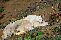 Mountain goat kid playing on resting nanny, Pacific Northwest, June