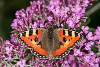 Kleiner Fuchs, Blütenbesuch, Nektarsuche an Schmetterlingsflieder, Sommerflieder, Buddleja, Aglais urticae, Nymphalis urticae, small tortoiseshell