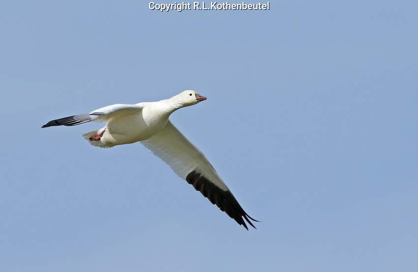 A lone Ross's goose in flight, one of several thousand at Klamath.<br />