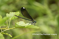 06014-00319 Ebony Jewelwing (Calopteryx maculata) female Washington Co. MO