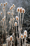 Cattails and Ice.  From the Palmer Divide Series.