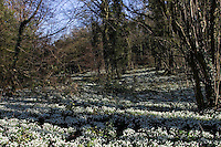 Snowdrops on woodland floor in Oxfordshire, England, United Kingdom
