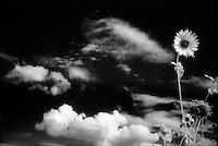 Infrared sunflower<br /> <br /> Nikon F3HP, 24mm f/2.8 lens, Kodak High Speed Infrared film, red filter