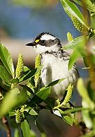 Warbler - Black-Throated Gray Warbler