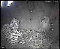 BNPS.co.uk (01202 558833)<br /> Pic: RobertFuller/BNPS<br /> <br /> The barn owl and kestrel face off in the nest.<br /> <br /> Brawling birds in nest ding dong...<br /> <br /> The gloves were off and the feathers were flying as these two birds of prey went wing-to-wing over a nesting box.<br /> <br /> This incredible footage shows a kestrel and a barn owl fighting it out for the prime spot to lay their eggs.<br /> <br /> The pair circle their boxing ring, staring each other down before attacking with talons and beaks in the hour-long stand-off.<br /> <br /> The bird brawl was captured by wildlife photographer Robert Fuller on a nestcam he had set up inside a 13ft-high old elm tree stump.