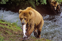 Brown bear with salmon it caught at Brooks Falls on Brooks River, Katmai National Park, Alaska, AGPix_0190.