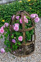 France, Indre-et-Loire, Langeais, château et jardin de langeais, rosier gallique