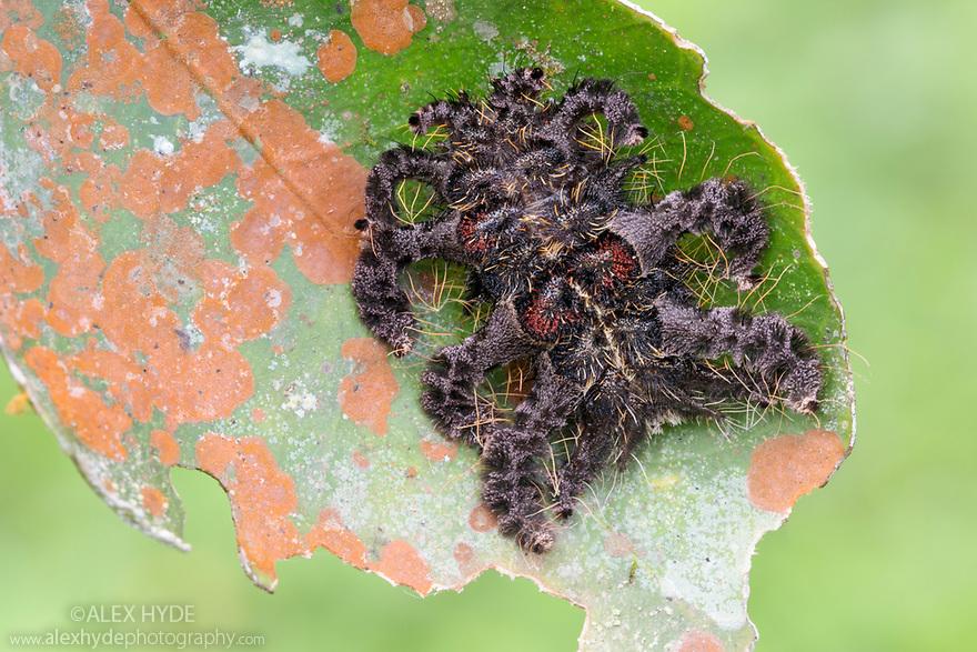 Monkey Slug Caterpillar (Limacodidae) mimicking a spider. Lowland rainforest, Manu Biosphere Reserve, Amazonia, Peru. November.