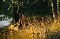 Wild grass in the setting sun.