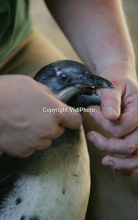 Foto: VidiPhoto..AMERSFOORT - Eetles en visherkenning in de pinguincreche van DierenPark Amersfoort donderdag. De jonge pinguins in de dierentuin worden opnieuw met de hand gevoed, nadat een experiment om ze in de groep te voeren mislukte. De jonkies wisten de vis niet te herkennen. Vandaar dat ze zes weken na hun geboorte nu weer eetles krijgen voordat ze in de groep mogen. Ook dat duurt zes weken.