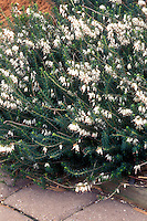 Winter Heath Erica carnea 'Springwood White' in white flowers showing plant habit