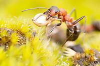 Wood Ants
