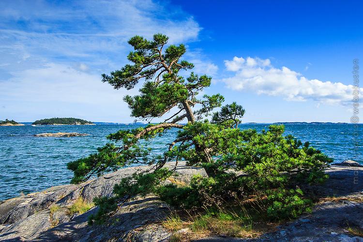 Tall vid Björnö i Stockholms skärgård/ Stockholm archipelago Sweden