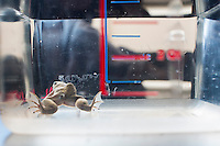 A frog with an extra working eye on its back (near the top of the left leg) swims in a tank in Dr. Michael Levin's lab at the Tufts Center for Regenerative and Developmental Biology in the Department of Biology at Tufts University in Medford, Massachusetts, USA. Researchers caused this extra eye to grow on the frog by taking cells that would become an eye from one frog egg and transplanting it onto cells that would become a frog's back in another egg. The donor egg developed two eyes normally, and the recipient egg developed two normal eyes and the third, all of which function as normal eyes would in a frog. This frog was born in August 2011 and continues to live as normal as of May 2014.<br /> <br /> Levin's research focuses on the way that animal cells communicate with one another during embryonic development and cell and tissue regeneration. Levin's lab currently uses frogs and freshwater planaria worms for research.