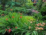 Vashon-Maury Island, WA<br /> Crocosmia 'Lucifer' and peach blooming daylilies (Hemerocallis sp) are paired in a summer perennial garden