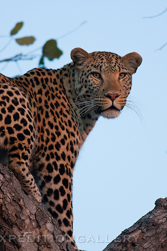 Leopard (Pantera pardus), Botswana. (this species is found in many African countries including South Africa, Botswana, Zambia, Zimbabwe, Namibia, Tanzania, Kenya, Rwanda, Uganda)