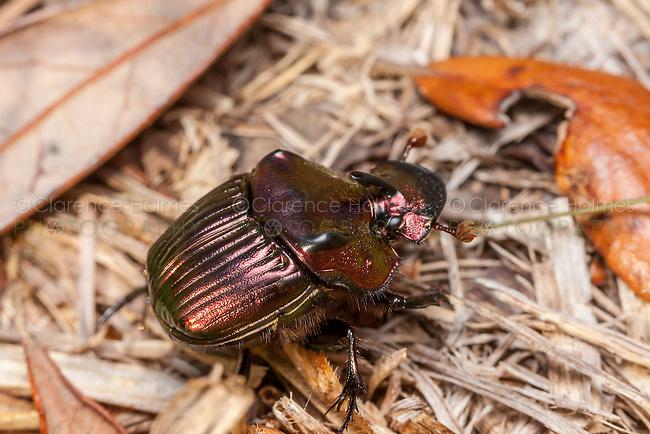 Male Rainbow Scarab beetle (Phanaeus igneus)