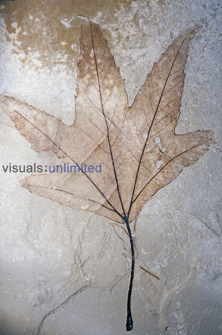 Fossil Sycamore leaf (Platanus wyomingensis), Eocene Epoch, 55-33 m.y.s., Green River Formation, Utah.