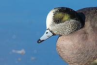 American wigeons are among many species of waterfowl hanging out at the Reifel Bird Sanctuary in winter.