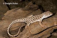 1R16-501z  Leopard Lizard, Gambelia wisilizenii