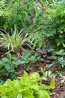 Groundcovers for Shade Garden: Lirope muscari Variegata, Heuchera Key Lime, Heucher Steel City in bloom, Fragaria strawberry ground cover, Vinca Wojo's Gem, fern, Rhodea japonica, Lamium galeobodon, ferns