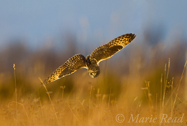 Short-eared Owl (Asio Flammeus) in flight, just about to dive into the grass (presumably after prey), New York, USA