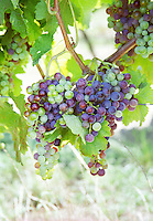 colouring of the grapes, veraison, in summer chateau de castelnau entre deux mers bordeaux france