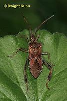 HE11-511z  Western Conifer Seed Bug, Leptoglossus occidentalis