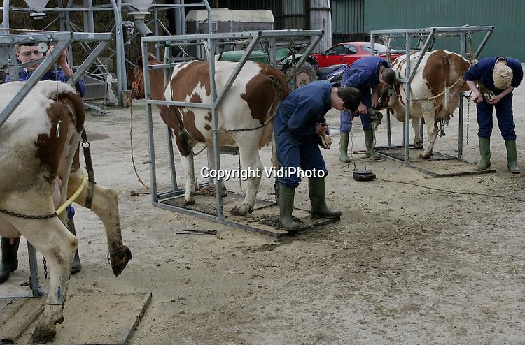 Foto: VidiPhoto..TIEL - Leerlingen van de agrarische tak van het Heliconcollege uit Geldermalsen deden woensdag hun praktijkexamen klauwbekappen bij veehouder P. Bongers in Tiel. Klauwebekappen is het belangrijkste onderdeel van een soort EHBO voor koeien, waarbij toekomstige boeren problemen bij de dieren in een vroeg stadium leren herkennen. Er zijn slechts weinig agrarische scholen met een praktijkexamen klauwbekappen (verzorgen van de hoeven).