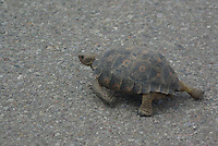 A wild Desert Tortoise seen crossing a road in the outskirts of Tucson, Arizona on a summer day.