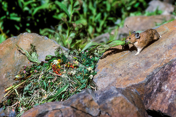PIKA - Ochotonidae princeps -bringing flowers to haypile for winter food supply. Alpine resident. Mt. Rainier National Park, WA. USA. Cascade Mountains.