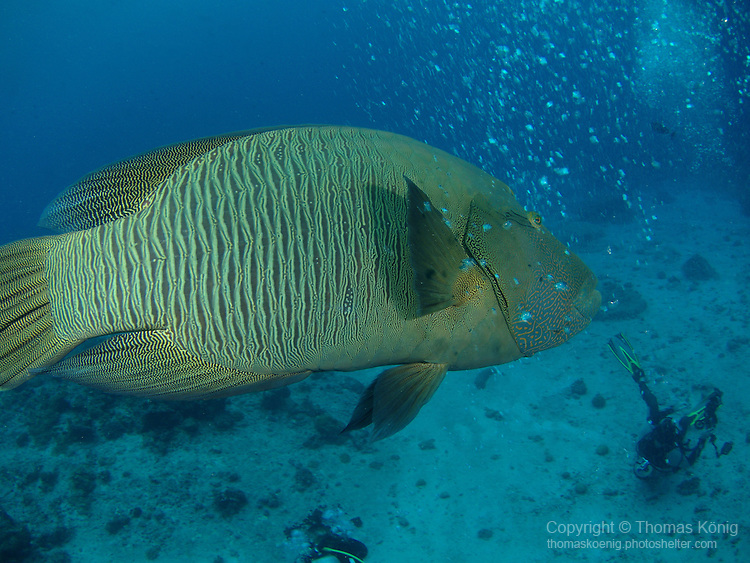 Blue Corner, Palau -- A curious Napoleon Wrasse seemingly rushing to the aid of a diver in distress.<br />